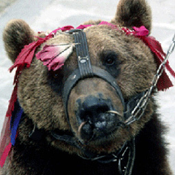 Help Save The Dancing Bears