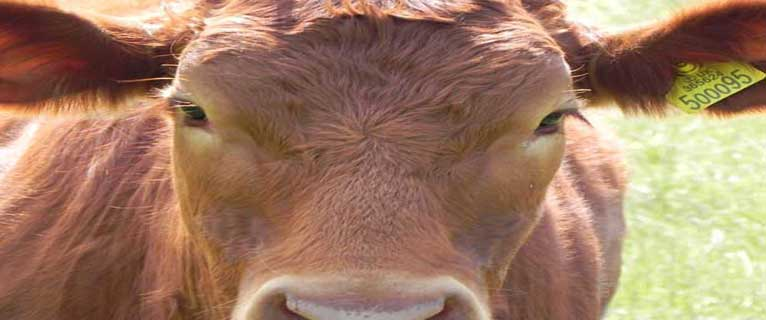 Article: You Are What you Eat -  Image: brown cow by Alice Birkin